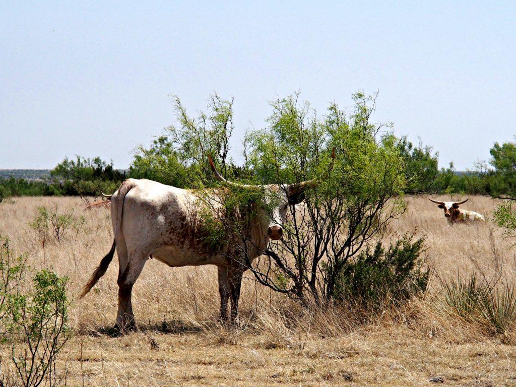 Texas Longhorns at Palo Duro Canyon. Photo by Jody Halsted, Halsted Enterprises, Inc.