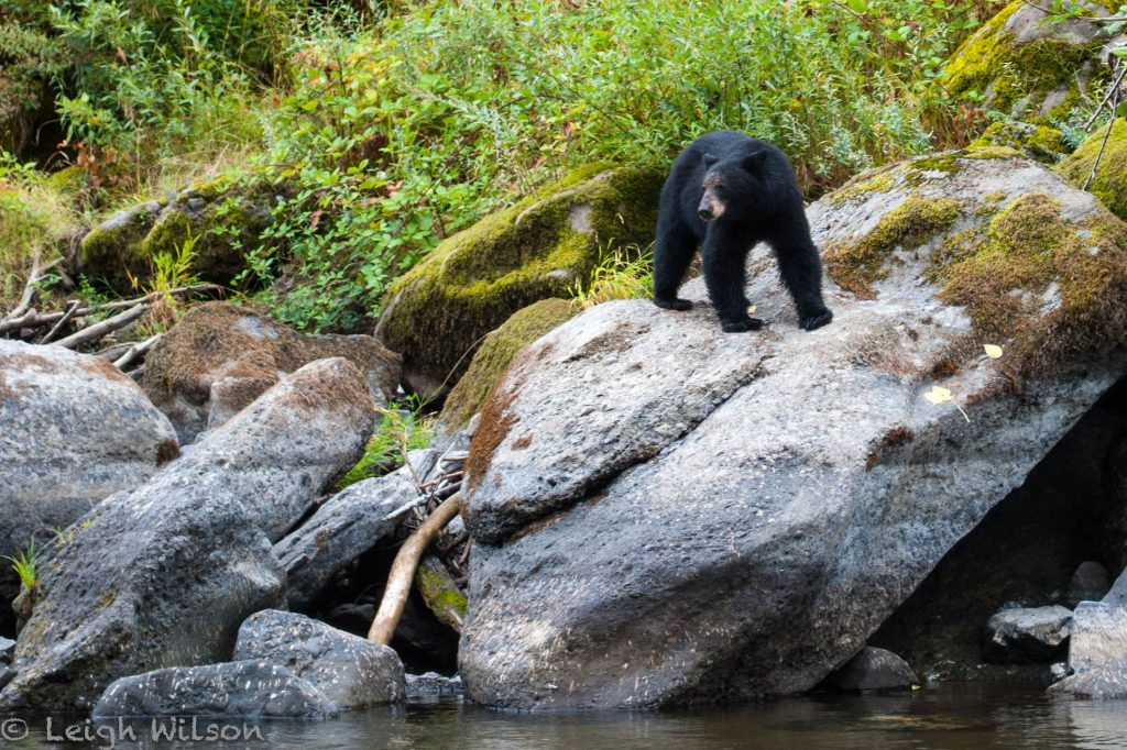 bear safety: black bear