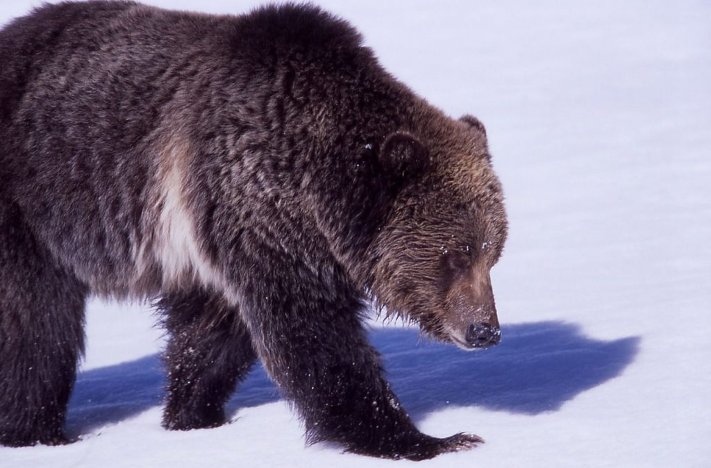 bear safety: grizzly bear