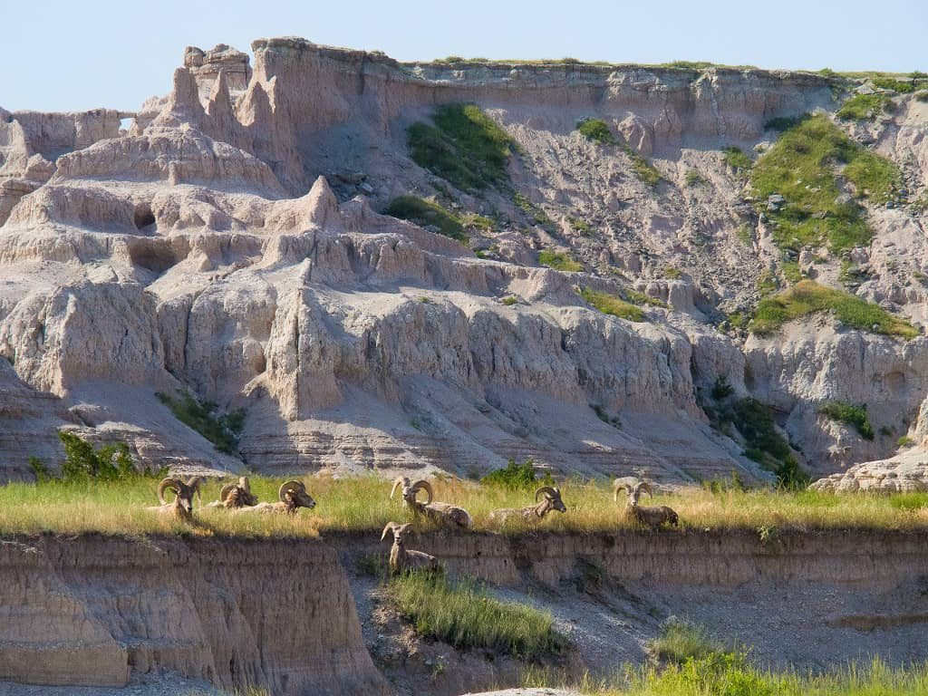 Big Horn Sheep in Badlands National Park, South Dakota